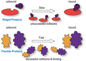 Ridgid proteins have a slow binding rate whereas IDP containing proteins can bind much faster