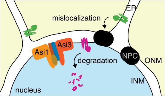 Figure showing a pathway of protein quality control at the inner nuclear membrane mediated by Asi ubiquitin ligase