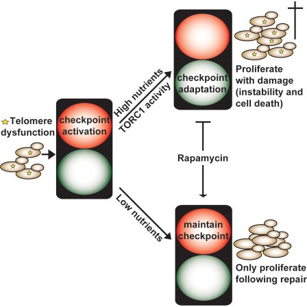 Telomere dysfunction activates the DNA damage checkpoint leading to cell cycle arrest